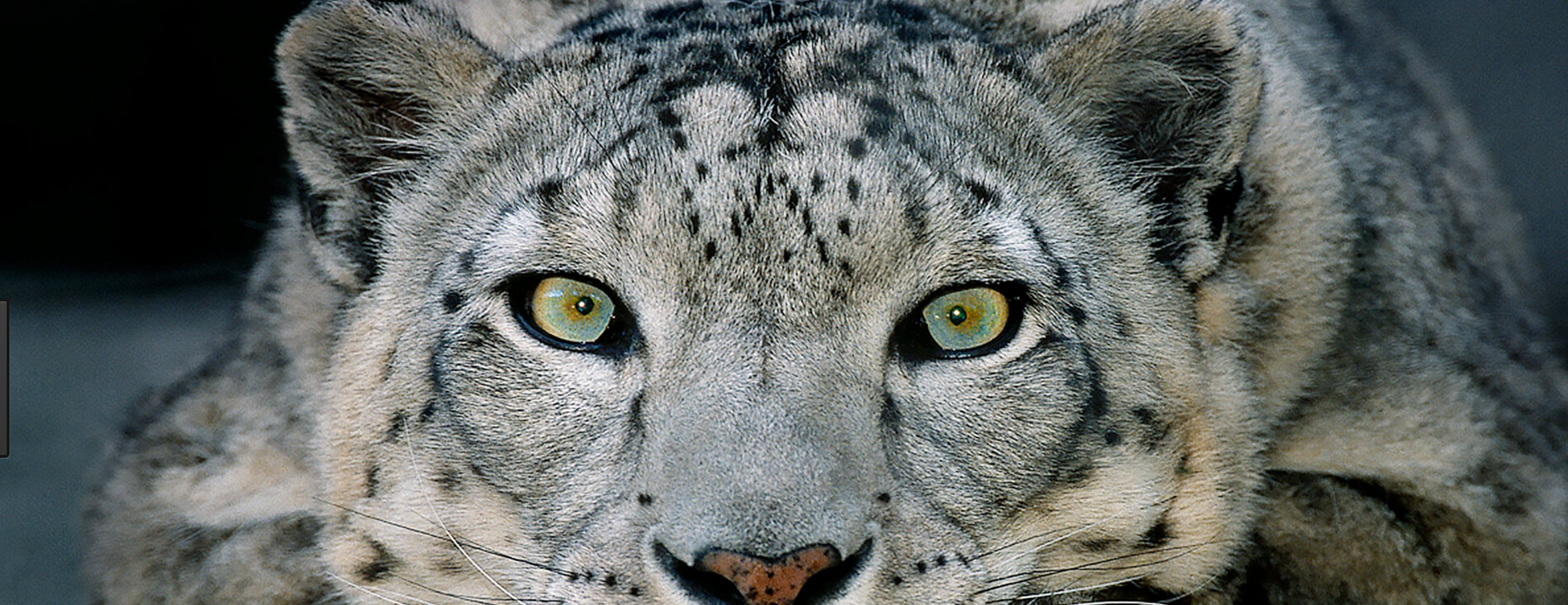 Snow Leopard Conservation Gets Boost From New Discovery