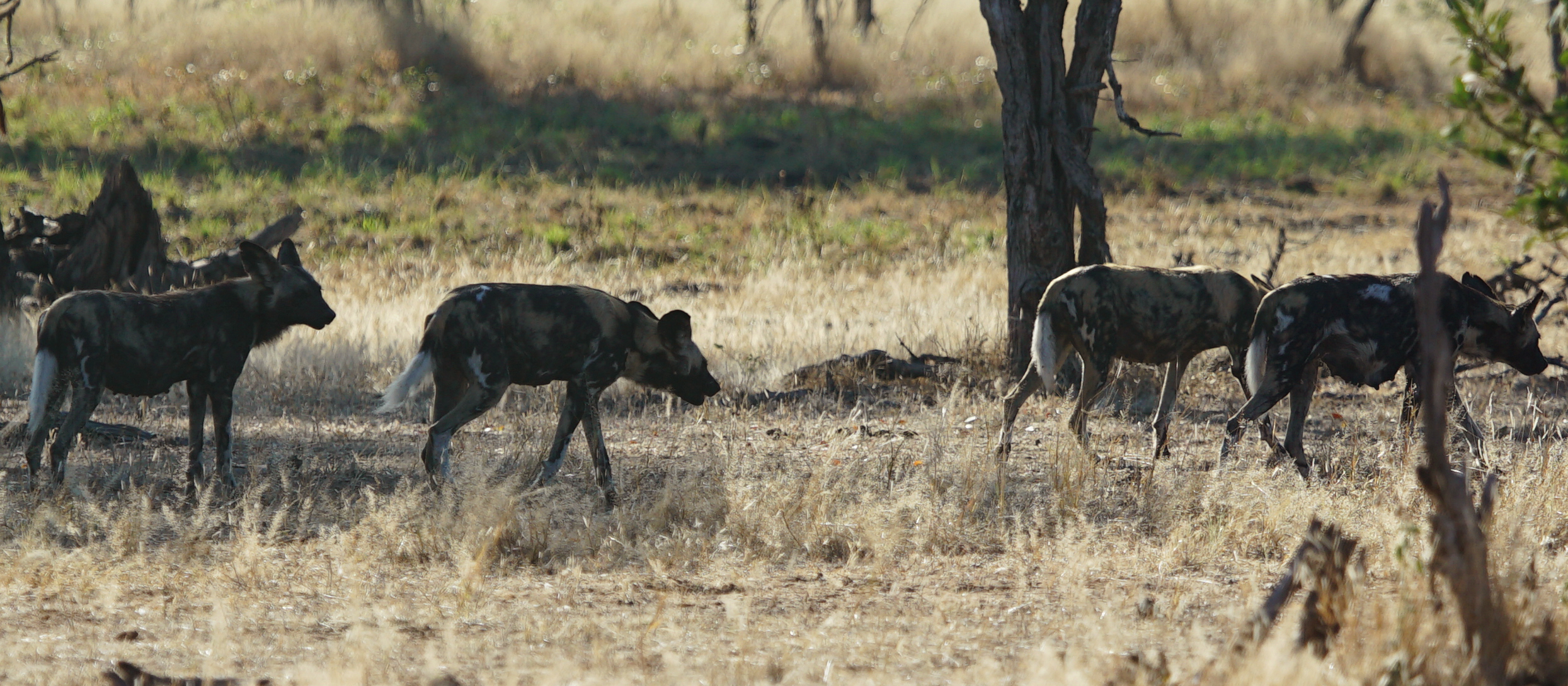 Sneezing Wild Dogs and Colorful Ocelot Prey